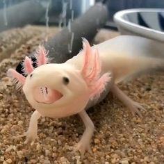 """How can you not love a face like this? It's the critically endangered Axolotl, aka the """"Mexican Walk <br> Cute Reptiles, Reptiles And Amphibians, Cute Little Animals, Cute Funny Animals, Axolotl Care, Axolotl Pet, Nature Animals, Animals And Pets, Rabbit Cages"""