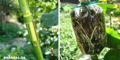 Μάθετε Πως να Πολλαπλασιάσετε την Τριανταφυλλιά με τη Μέθοδο της Εναέριας Καταβολάδας Diy And Crafts, Home And Garden, Backyard, Flowers, Plants, Gardening, Laura Ashley, Tape, Lawn And Garden