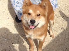 #TEXAS ~ Foxy is a Spayed UTD vaccines Shiba Inu / Chow mix  in need of a loving #adopter / #rescue at GONZALES ANIMAL CONTROL  400 CR488 (off FM532 / Moulton Rd) #Gonzales TX 78629 animalcontrol@cityofgonzales.org Ph 830-672-8686