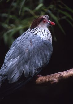 Topknot Pigeon - (Lopholaimus antarcticus) - Yahoo Image Search results