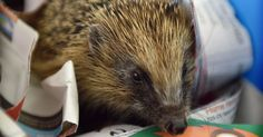 Wirral centre now caring for 8 hedgehogs but hopes to be able to help up to 50 at a time ♥️🙏♥️