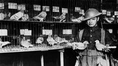 12:13 PM ET  Una paloma mensajera de la Segunda Guerra Mundial pone en jaque a espías británicos