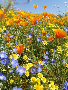 Super Bloom - Desert Wildflower Reports for Southern California by DesertUSA Nature Aesthetic, Flower Aesthetic, Desert Flowers, Wild Flowers, Fresh Flowers, California Wildflowers, Spring Wildflowers, California Native Plants, Cottage Garden Design