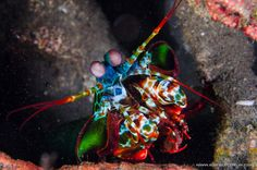 This little guy packs a deadly punch when provoked...Don't mess with a mantis shrimp!