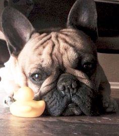 French Bulldog and a Rubber Ducky❤️