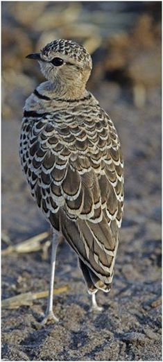 The Double-banded Courser (Rhinoptilus africanus), also known as the Two-banded Course