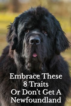 Embrace These 8 Traits Or Don't Get A Newfoundland. Sweetness of temperament is the most important trait of the Newfoundland breed. Other common traits are loyalty intelligence and train-ability. Newfoundland Breed, Big Dogs, Cute Dogs, Black Lab Puppies, Corgi Puppies, Nanny Dog, Dog Grooming Business, Purebred Dogs, Large Dog Breeds