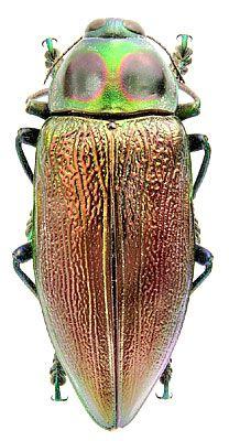 Euchroma giganteum (Linnaeus, 1758)  (Buprestidae)  Equador, Napo, IX.2000