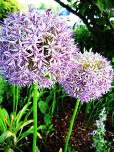 Fluffy purple flower