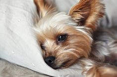 Yorkie Puppies, Yorkshire Terrier Puppies, Shih Tzu Dog, Cute Puppies, Cute Dogs, Cute Dog Pictures, Animal Pictures, Animals And Pets, Baby Animals