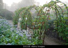 Runner beans climbing over hazel arches beside bed of borage in the walled garden at Edmondsham House, Cranborne, Dorset, UK