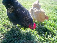 """""""Keeping Your Chickens Healthy"""" - Great article on www.backyardchickens.com from Willow Branch Farm"""