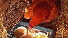 preseljenje kvocke i njenih pilica iz gnijezda u veliki drveni sanduk Chicken Life