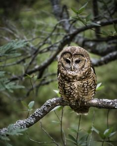 Northern Spotted Owl (Strix occidentalis caurina) by Markus Jansson