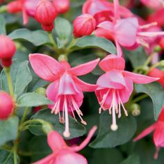 Shadow Dancers® Yolanda - Fuchsia hybrid-annual-part shade to shade-attracts hummingbirds and butterflies