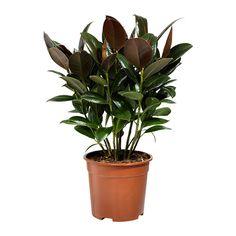 FICUS ELASTICA Planta IKEA Decora la teva llar amb les plantes i els testos que més t'agradin.