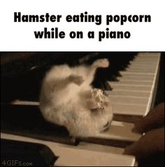 Hamster eating popcorn while on a piano  GIF