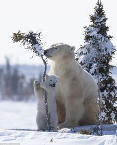 After leaving their maternity dens, the polar bears will dig special day dens to rest up u...