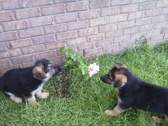 . Gsd Puppies, German Shepherds, Corgi, Animals, Corgis, Animales, Animaux, Animal, German Shepherd Dogs