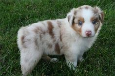 Hi, I'm a curious red merle puppy. | Community Post: 20 Australian Shepherd Puppies That Are So Adorable You Might Just Explode