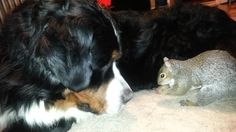 Pet Squirrel hides his nut in the fur of a Bernese Mountain dog as seen ...