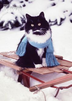 TUXEDO Kitty Cat on vintage red Sled in the SNOW wearing blue Scarf  Color PHOTOGRAPH Photo