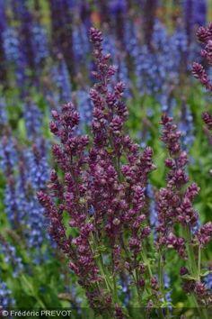Salvia x sylvestris 'Plumosa'. Étranges inflorescences de petites fleurs doubles en grosses grappes denses d'une jolie couleur violine, port souple et petit feuillage gaufré.     Synonyme : S. nemerosa 'Plumosa'