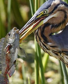 Purple Heron..also known as the gouger.