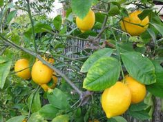 Fertilizing Lemons: Learn About Fertilizer For A Lemon Tree -  If you are growing a lemon tree and it has not produced lemons and still looks healthy, it is possible the tree is lacking nutrients. This article will remedy that by explaining how to fertilize a lemon tree.
