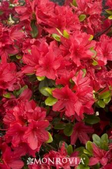 Monrovia's Hino-Crimson Azalea details and information. Learn more about Monrovia plants and best practices for best possible plant performance.