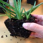 The Oxygen Bomb: Place This Wherever You Want to Clear Toxins And Negative Energ… - House Plants