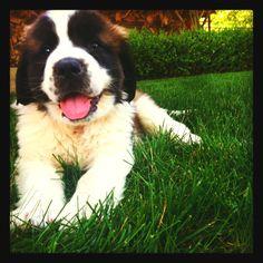 My saint Bernard puppy :)