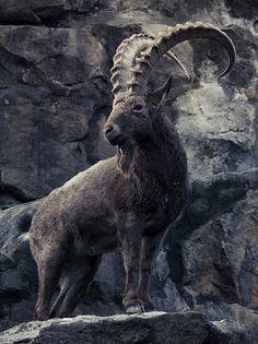 Ibex <3