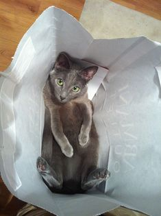 photogenic felines | Russian blue cat loves shopping bags…:-) (by...