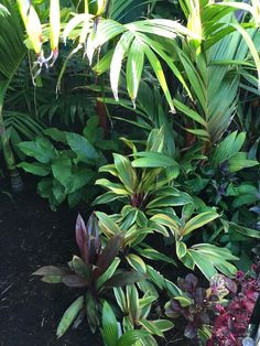 Paul Latzias garden in Brisbane. Palms including Areca vestiaria, Heliconia stricta 'dwarf jamaican', Cordylines including early morning diamond and Iresine.