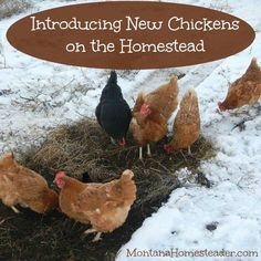 Introducing new chickens on the homestead! Find out how we drove a chicken coop built on a trailer frame and filled with chickens 15 miles to our homestead in Montana | Montana Homesteader