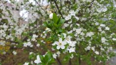 Sprin abounding in little white flowers :)