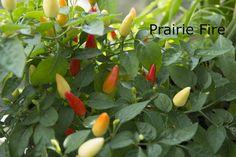 Papriky a chilli Prairie Fire, Stuffed Peppers, Vegetables, Plants, Life, Food, Cactus, Stuffed Pepper, Essen
