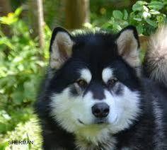 Image result for alaskan malamute