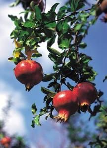 Pomegranates are often grown as small container shrubs.