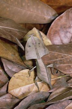 Dead leaf mantis (Deroplatys truncata) . Blends in perfectly.