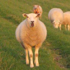 Zeeland { h o l l a n d } Natur pur ... Die Schafe lassen sich fast streicheln #holiday #niederlande #holland #schafe #hafen#hierwarichschon #entspannung#zeeland