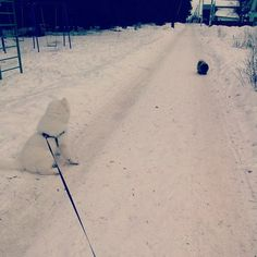 Нордик и пекинес))) #North #pekingese #fluffy #winter #white #walks #dogs #samoyed #самоед #puppy