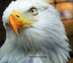 This beautiful American Bald Eagle was so animated while I took these photos. Taken in…