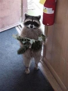 Cute Little Animals, Cute Funny Animals, Cute Cats, Funny Cats, Funny Raccoons, Pretty Cats, Cute Raccoon, Funny Animal Photos, Pictures Of Baby Animals
