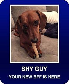 Morrisville, PA - Dachshund. Meet Oscar Mayer, a dog for adoption. http://www.adoptapet.com/pet/16990655-morrisville-pennsylvania-dachshund