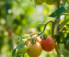 WTS ∙ Backyard Tomato Gardens