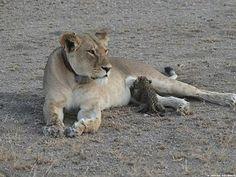 Löwin säugt Leopardenjunges