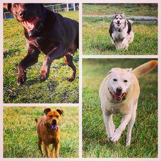 More happy pitter-pattering at camp! #evasplaypupspa #dogs #dogcamp #doggievacays #dogsinnature #runfree #dogsofinstagram #labsofinstagram #huskiesofinstagram #shepardsofinstagram #smilingdogs #autumn #sweaterweather #farmlife #flyingdogs #happytails #lifeisgood #playtime #endlessmountains #mountpleasant #PA #pennsylvania