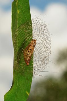 Arctiid Moth Pupa and Basket (Cyana sp., Lithosiini, Arctiinae) by itchydogimages, via Flickr